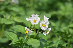 Flowering potatoes Royalty Free Stock Photo