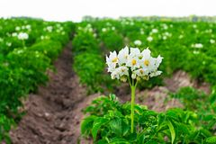 Flowering potatoes on. Stock Photo