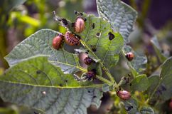 Flowering potatoes. Beetle is eating potatoes stock image