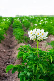 Flowering potatoes on Royalty Free Stock Photo