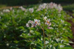 Flowering potatoes on the field. This potato plant is flowering, which indicates that the tubers are forming underground stock photography