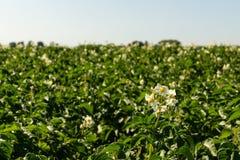 Flowering Potatoes Stock Photo