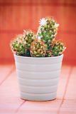 Flowering prickly cactus in a white flower pot Royalty Free Stock Images