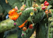 Flowering Prickly Pear Cactus. Grown in New Zealand stock photography