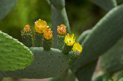 Flowering prickly pear Royalty Free Stock Image