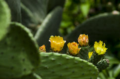 Flowering prickly pear. Stock Images
