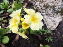 Flowering primrose (Primula) Stock Photography