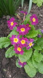 Flowering primula Royalty Free Stock Image