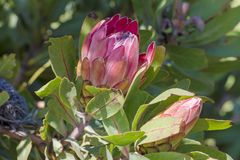 King Protea - national flower of South Africa Stock Images