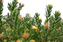 Flowering Protea plant Royalty Free Stock Image