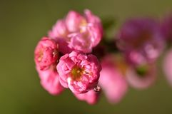 Flowering Prunus with a hanging drop. This picture has hung a pearl in the flower I am quite proud of. In the droplet you can see the flowers around the Royalty Free Stock Images