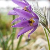 Flowering Pulsatilla Royalty Free Stock Photo