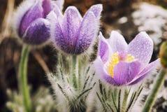 Flowering pulsatilla slavica in spring meadow Stock Photo