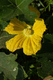 Flowering of pumpkin. A large yellow flower hides in green leaves Royalty Free Stock Photo