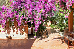 Flowering purple bougainvilla in Morocco Stock Photography