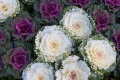 Flowering purple cabbage Stock Image