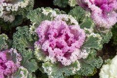 Flowering purple cabbage Royalty Free Stock Photo