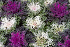 Flowering purple cabbage Stock Photos