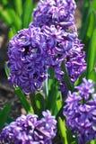 Flowering Purple Hyacinthus Flower Bulb Blooming Royalty Free Stock Photos