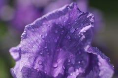 Flowering purple iris. Close-up of Flowering purple iris in drops of water Stock Photo