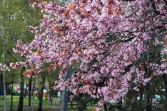 Flowering purple-leafed plum in the park stock image