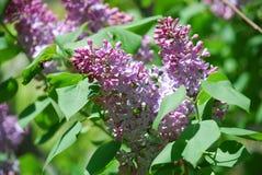Flowering Purple Lilac Bush in Bloom Stock Photos