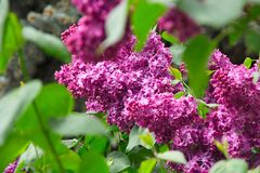 Flowering of purple lilacs. Spring flowering of lilac bushes Royalty Free Stock Images