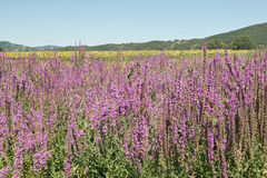 Flowering purple loosestrife Stock Photos