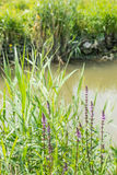 Flowering purple loosestrife at the banks of a stream Stock Photos