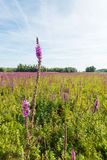 Flowering purple loosestrife from close Royalty Free Stock Photo