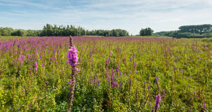 Flowering purple loosestrife from close Stock Photo