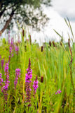 Flowering purple loosestrife in its own natural habitat Stock Image