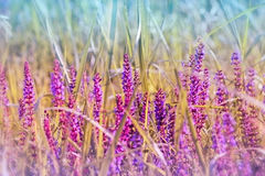 Flowering purple meadow flower Royalty Free Stock Images