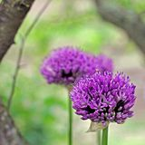 Flowering purple onions. Purple plant royalty free stock images