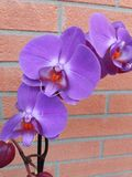 Flowering purple orchid on brick wall background Stock Photos