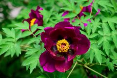 Flowering of a tree-like peony. Paeonia suffruticosa. Flowering of a purple tree-like peony. Paeonia suffruticosa. Flower and buds Royalty Free Stock Image