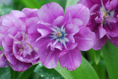 Flowering Purple Tulips with Raindrops from a Spring Rain Stock Images