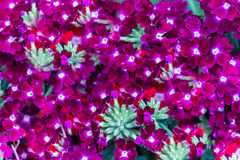 Flowering purple verbena Royalty Free Stock Images