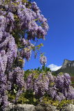 Flowering purple wisteria blossoms Royalty Free Stock Photography
