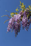 Flowering purple wisteria vine Stock Image