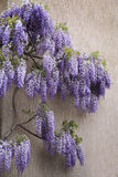 Flowering purple wisteria vine Stock Images