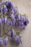 Flowering purple wisteria vine Stock Images