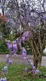 Flowering purple wisteria vine trailing on host tree in Springtime. Trailing wisteria vines with purple blossoms and buds on bare bark branches of host tree Royalty Free Stock Images