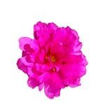 Flowering Purslane, Pussley. Flower Flowering Purslane, Pussley beautiful colors in the morning Royalty Free Stock Image