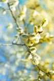 Flowering Willow. Closeup of flowering willow against blue sky Royalty Free Stock Photo
