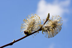 Flowering pussy willow branch Royalty Free Stock Photos