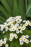 Flowering Pyrethrum closeup with goldsmith beetle Royalty Free Stock Photos
