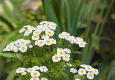 Flowering Pyrethrum closeup Stock Images