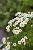 Flowering Pyrethrum Stock Photography