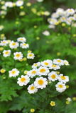 Flowering Pyrethrum Royalty Free Stock Photo